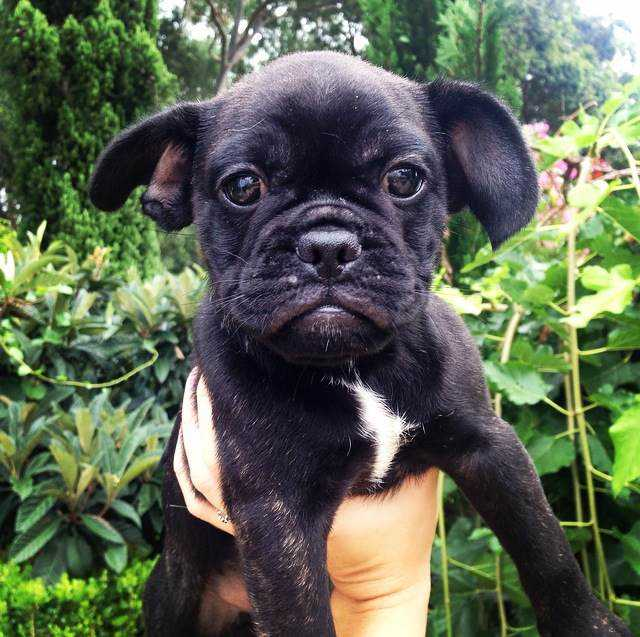 French Bulldog x Pug (Frug) Puppies - Dogs & Puppies - Pets