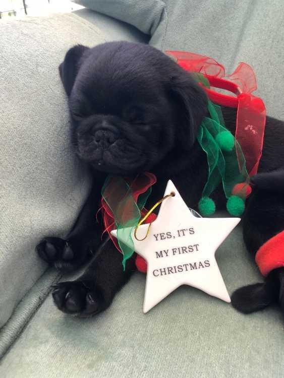 Pure black pug puppy for sale Sydney - Dogs & Puppies - Pets