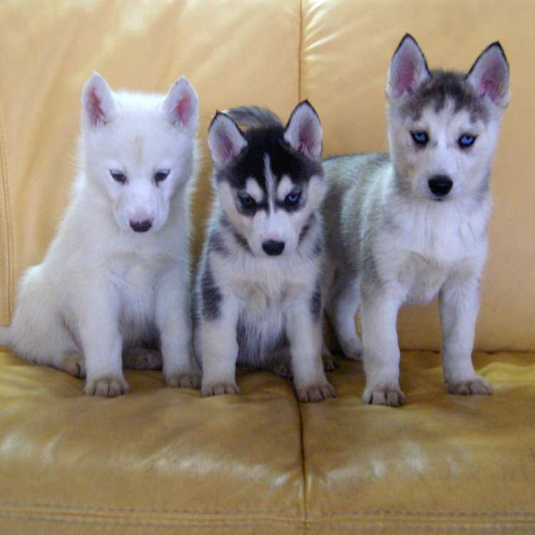 Siberian Husky Puppies For Sale Sydney Dogs Puppies Pets Please
