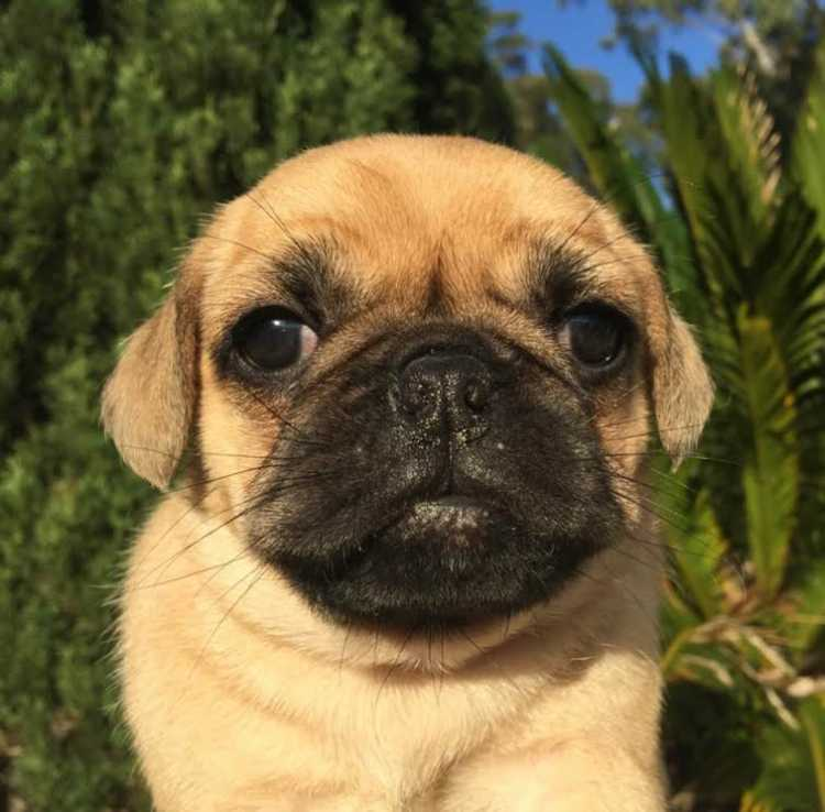 Puppies For Sale Sydney