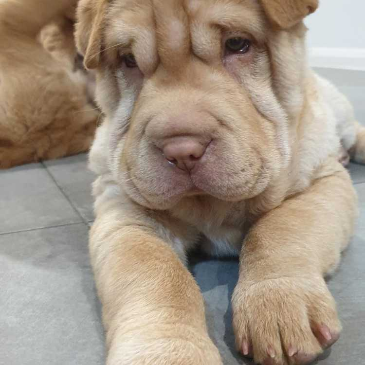 Bearcoat Sharpei