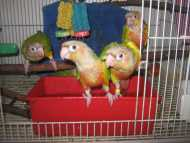 Breeding Pair Pineapple Conure