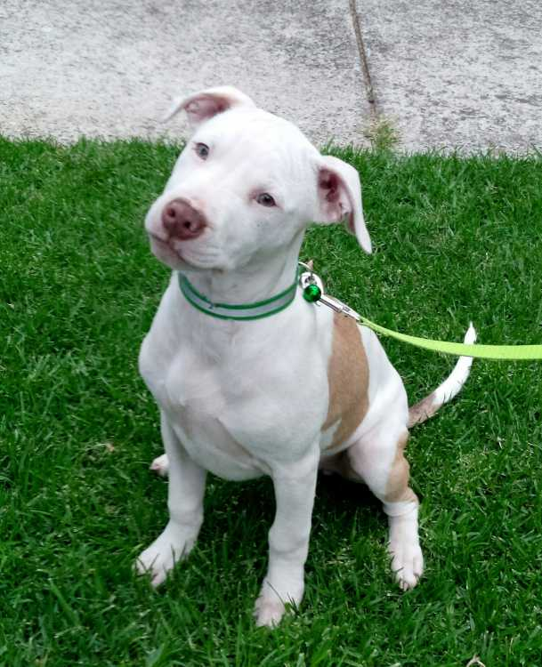 Amercian Staffy Dogs Amp Puppies Pets Please