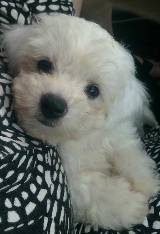 Pure Bichon Frise Puppies Dogs Amp Puppies Pets Please
