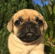 Puggle Puppies For Sale Sydney - Dogs & Puppies - Pets Please