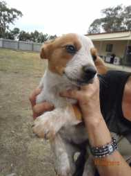 Smithfield Red Heeler X Red Kelpie Dogs Amp Puppies Pets
