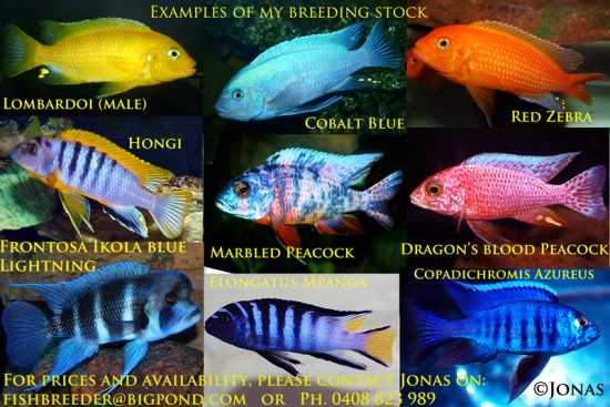 African Cichlids.........20+ colourful types.
