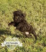 Puppy No. 5 - Female