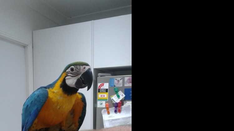 Macaw Baby Blue & Gold Male Handraised
