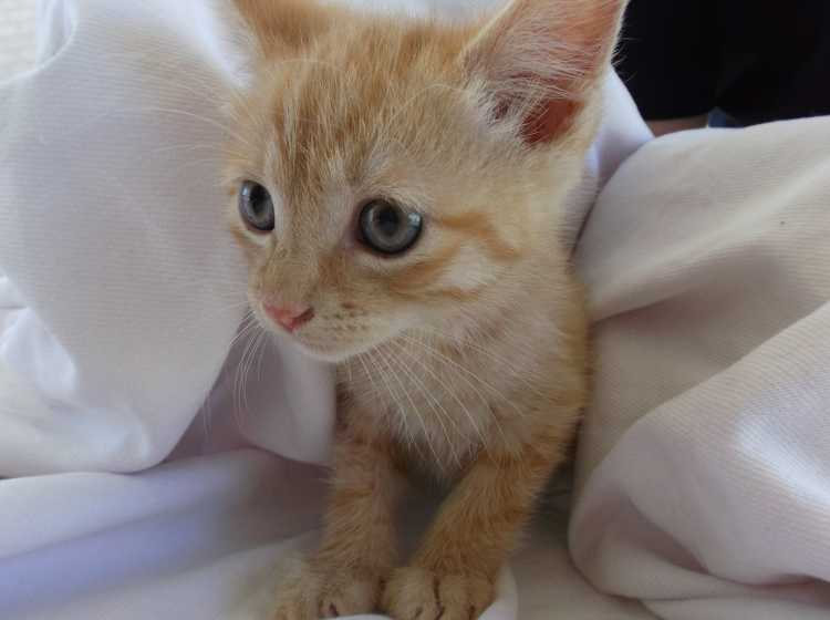 Aiden - Ginger Male Kitten - Available now