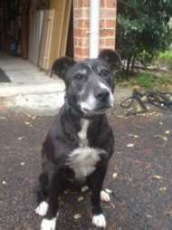 Tessa Medium Female Staffy x Border Collie mix