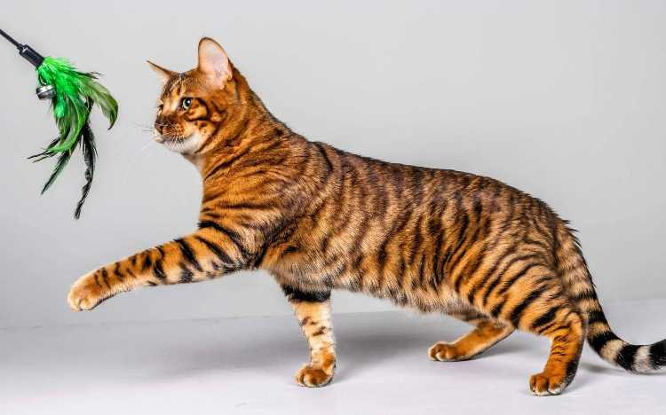 Toyger kittens - pedigree with papers