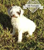 Puppy No. 8 - Female