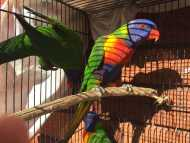 RAINBOW LORIKEETS BREEDING PAIRS