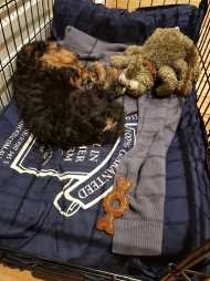 Hobbes 8 weeks old Airedale at his new home.jpg