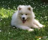 Samoyed Adorable Puppies Pure Bred