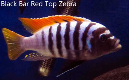 Black Bar Red Top Zebra