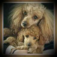 Puppies & Dogs for Sale in Brisbane, Sydney & Melbourne
