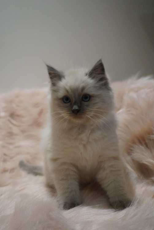 Purebred Pedigree kittens looking for forever home