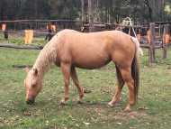 Registered Palomino Quarter horse mare