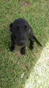 Staffy cross Great Dane puppies for sale - Dogs & Puppies
