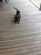 Black and Tan Male Dachshund -  Darcy