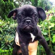 French Bulldog X Pug Frug Puppies Dogs Puppies Pets Please