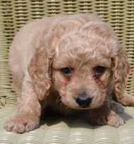 Red Mini Labradoodle.JPG