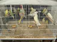 BABY BUDGIES-MANY COLOURS, MATURE BUDGIES & ENGLIS