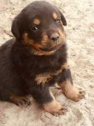 Pure breed Rottweiler