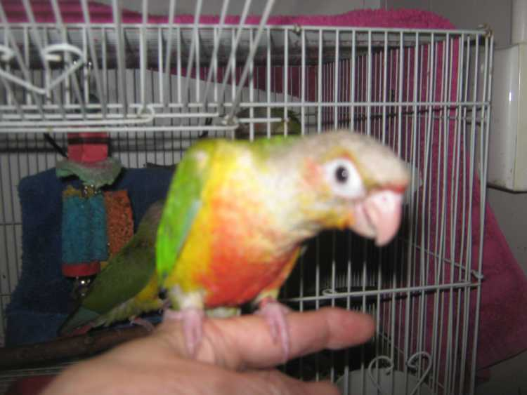 Green Cheek Conures  With DNA Cert