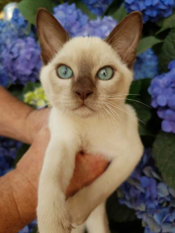 Tonkinese Kittens - pedigree with papers