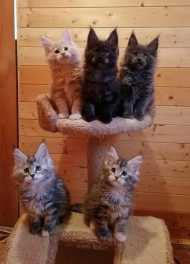 Purebred registered Maine Coon kittens. $1,100.00